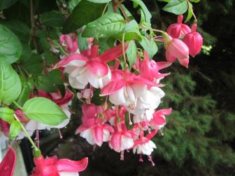 How to care for fuchsia